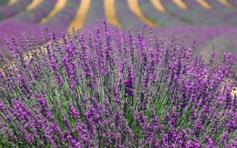 Lavender Oil/Extract