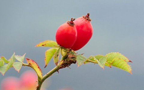 Rosa Canina (Rose Hip) Oil / Extract