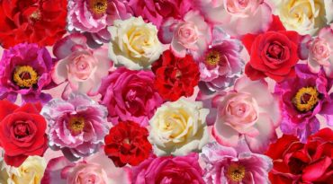 The Benefits of Rose Extract in Skincare